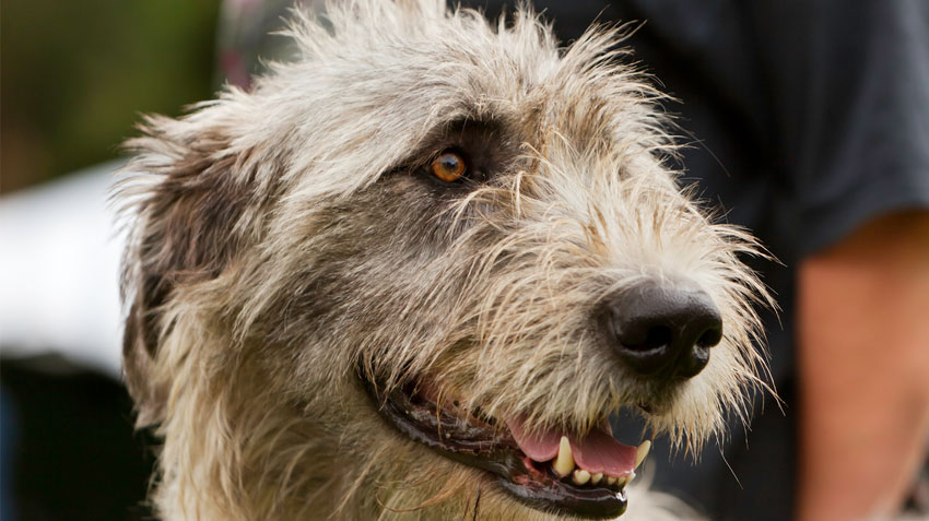 9 Irish Dog Breeds