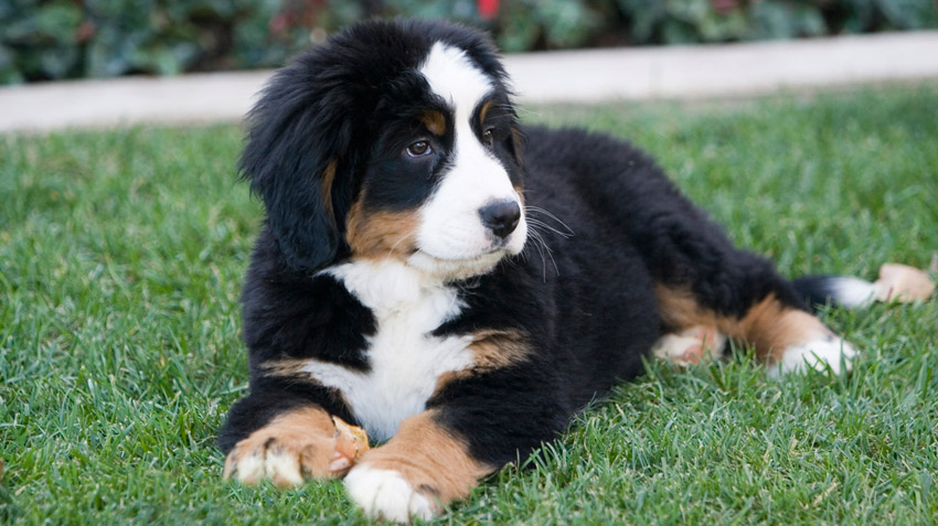 Bernese Mt Dog Adventurous