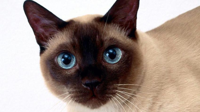 Tonkinese Cats Pet Health Insurance Tips