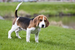 Beagle outside