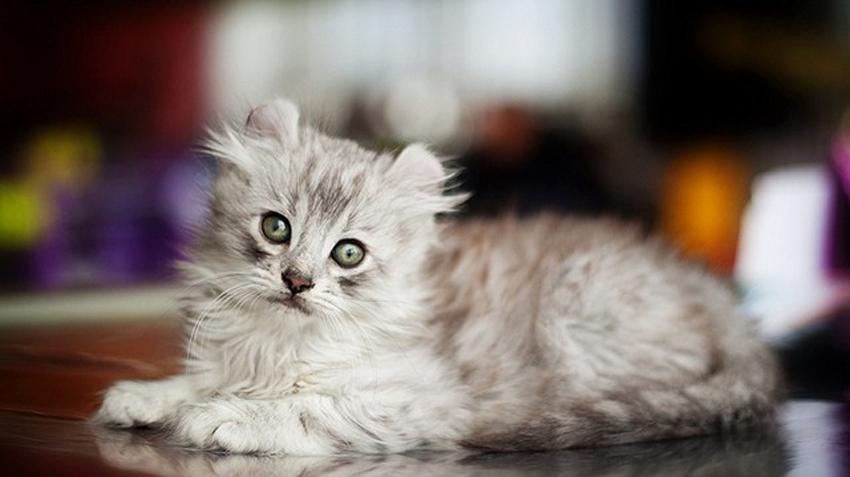 American Curl Cats | Pet Health Insurance & Tips