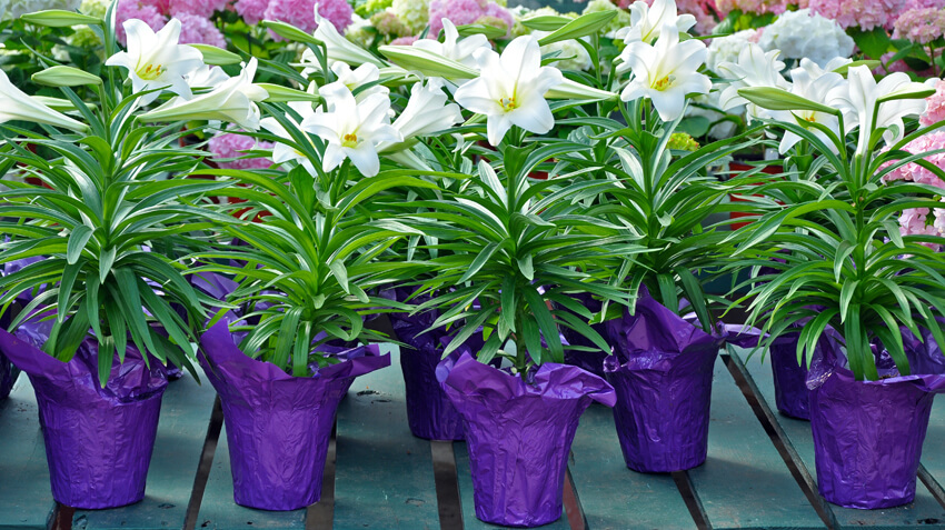 Lily Plant Dangers and Pets