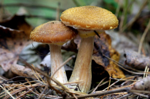 WildMushrooms2