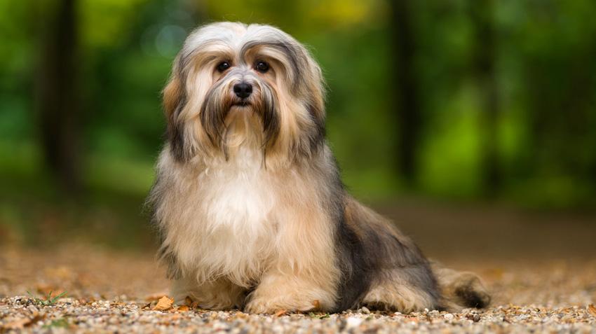 Havanese Dog Pet Health Insurance Tips