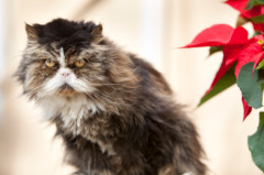 CatWithPoinsettia