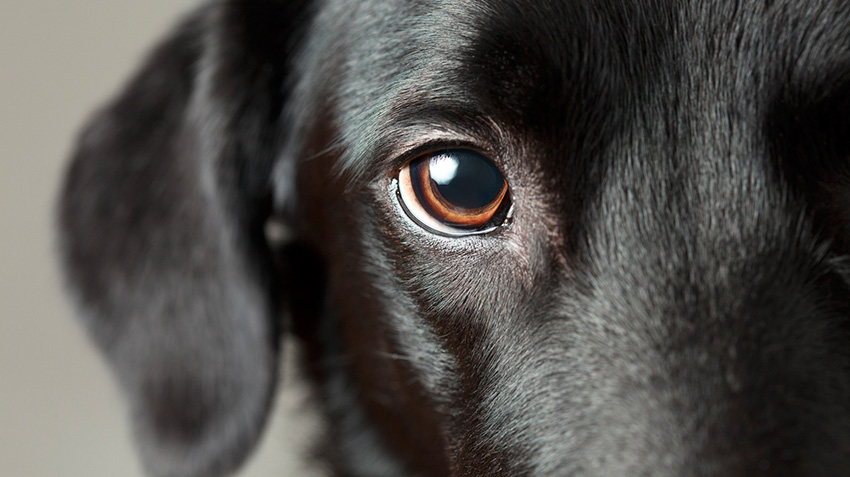 Progressive Retinal Atrophy in Pets