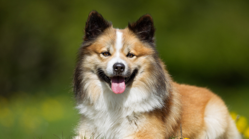 Icelandic Sheepdogs