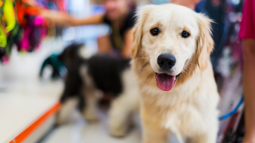 Adopting Golden Retrievers