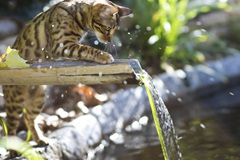 Bengal cat water