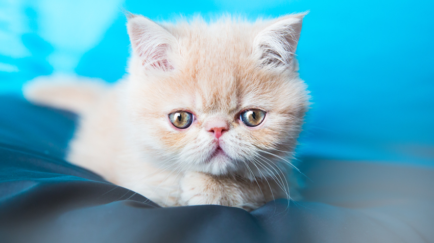 Top 10 Cat Breeds of 2016