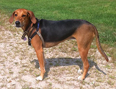 Irish Dogs Kerry Beagle