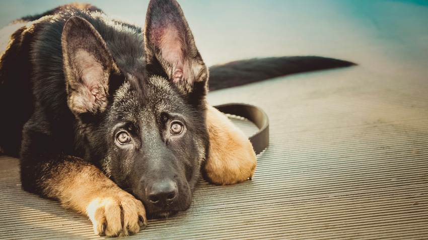 5 Things You Didn't Know About German Shepherd Dogs
