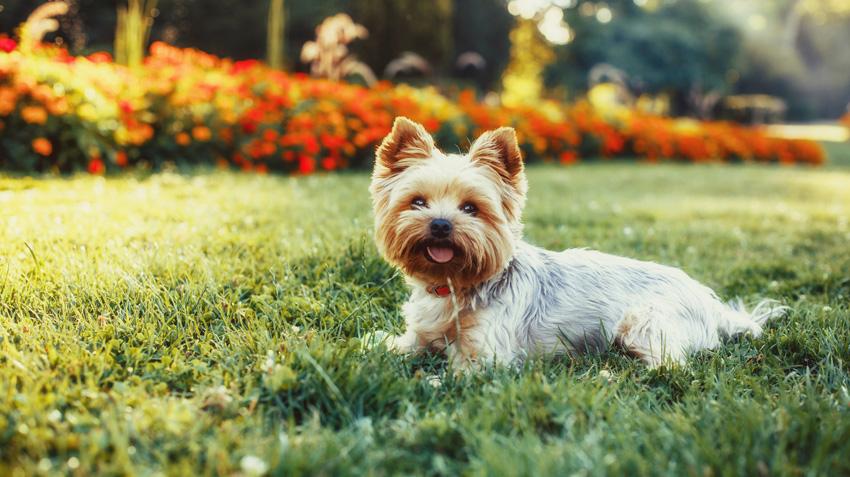 Yorkshire Terrier Pet Health Insurance Tips