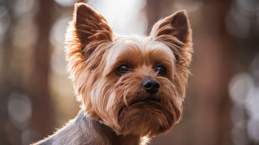 5 Things You Didn't Know About Yorkies