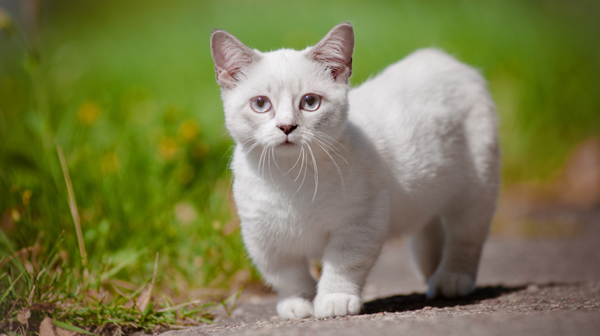 5 Things You Didn't Know About Munchkin Cats