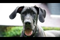 5 Things GreatDanes