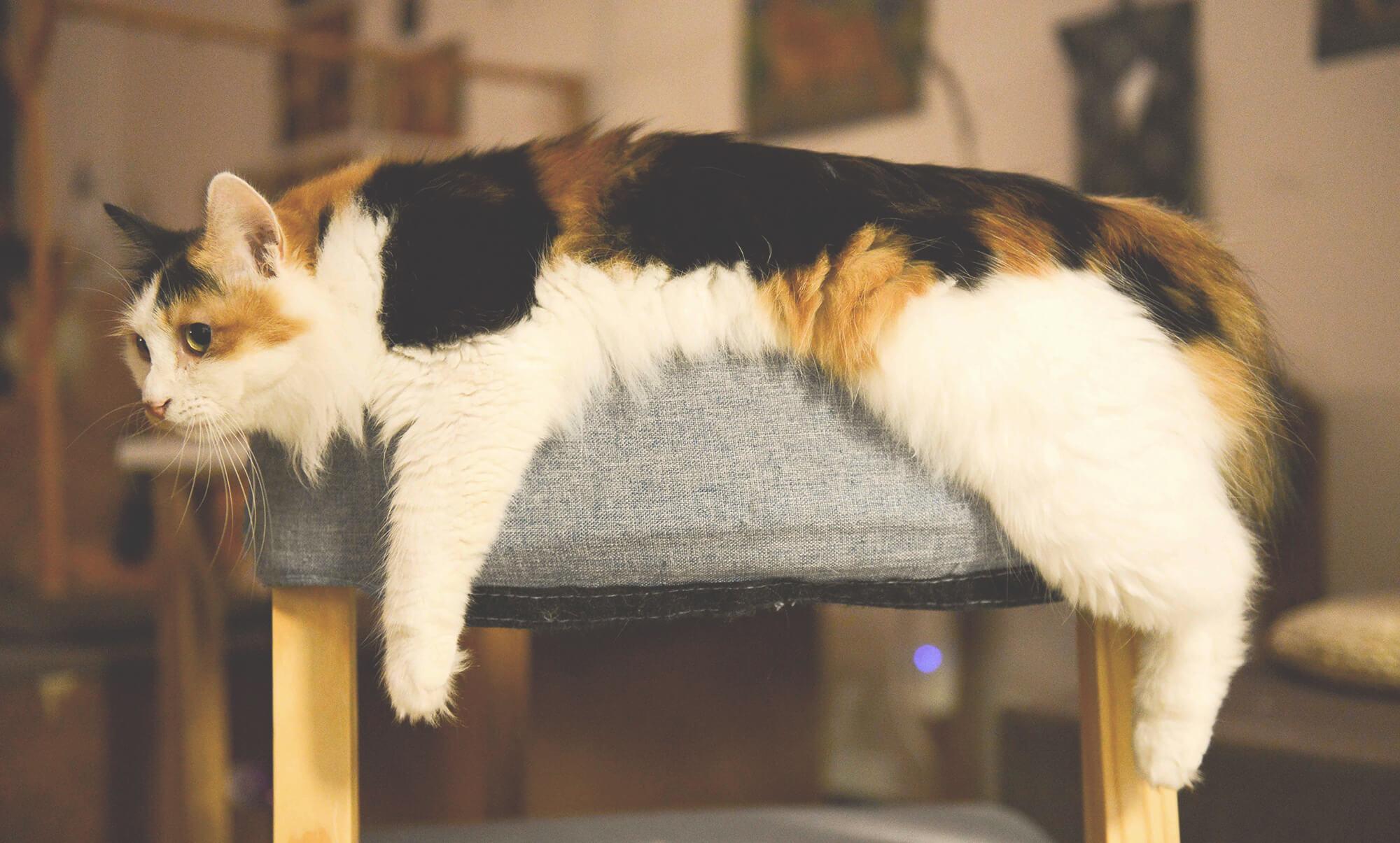 毛 猫 オス 値段 三 雑種の猫の種類8選!日本で一番多い雑種猫の性格や魅力を大解剖!