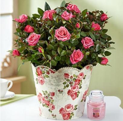 1800 FC Budding Roses