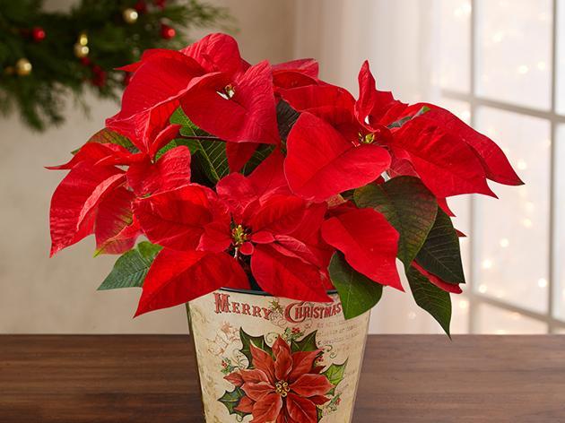 1800Flowers Christmas Plants