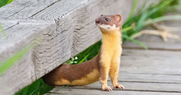 How to Spot the Weasel in Your Office