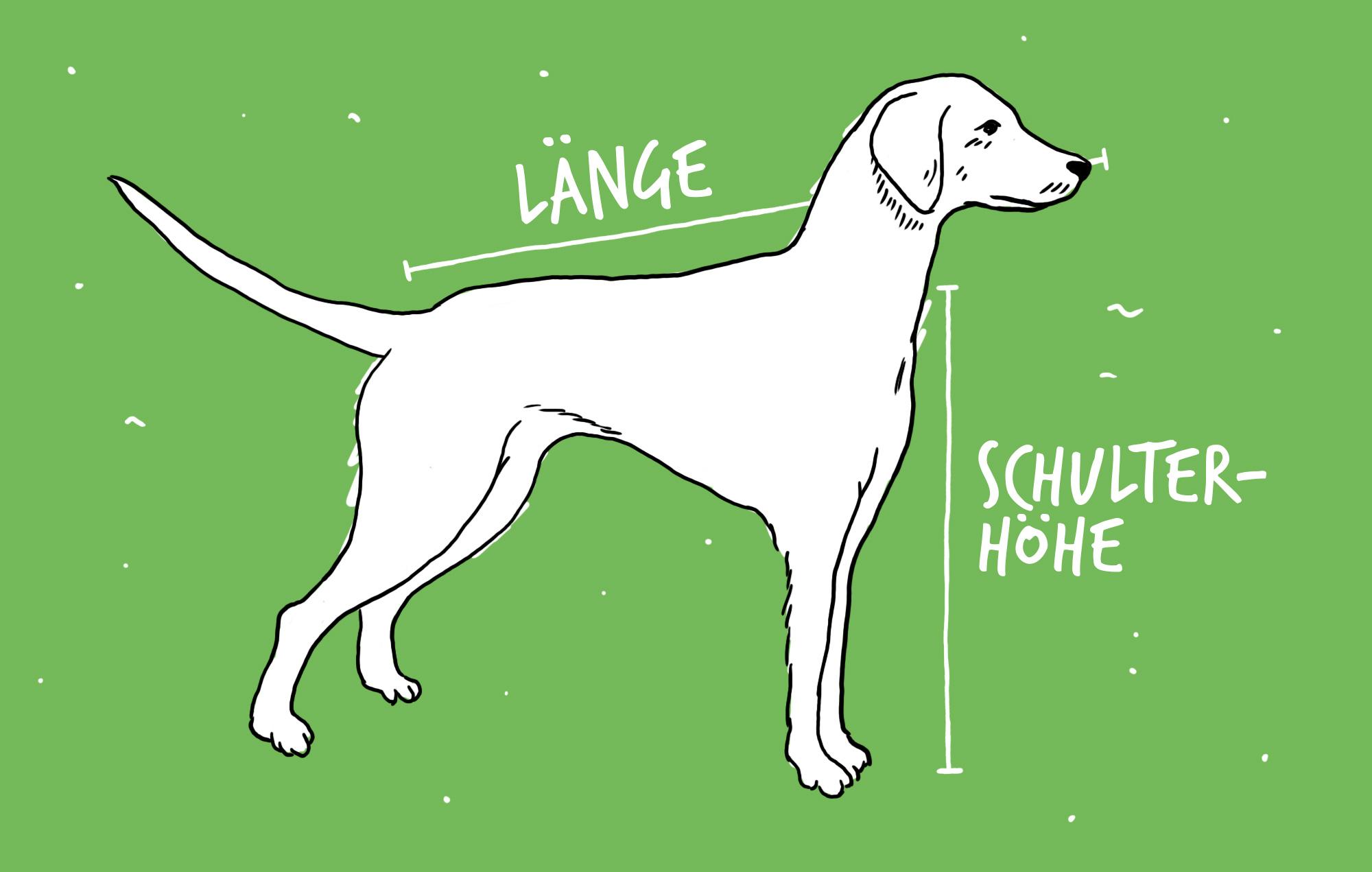 Hund-ausmessen-um-herauszufinden-ob-er-in-den-Hundefahrradanhaenger-Dog-XL-von-Croozer-passt