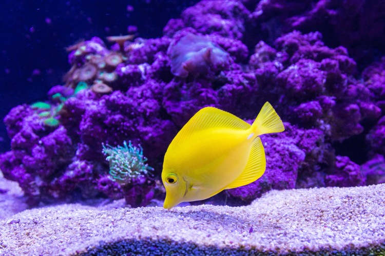 Yellow fish in an aquarium