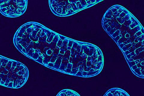 mitochondria under the microscope