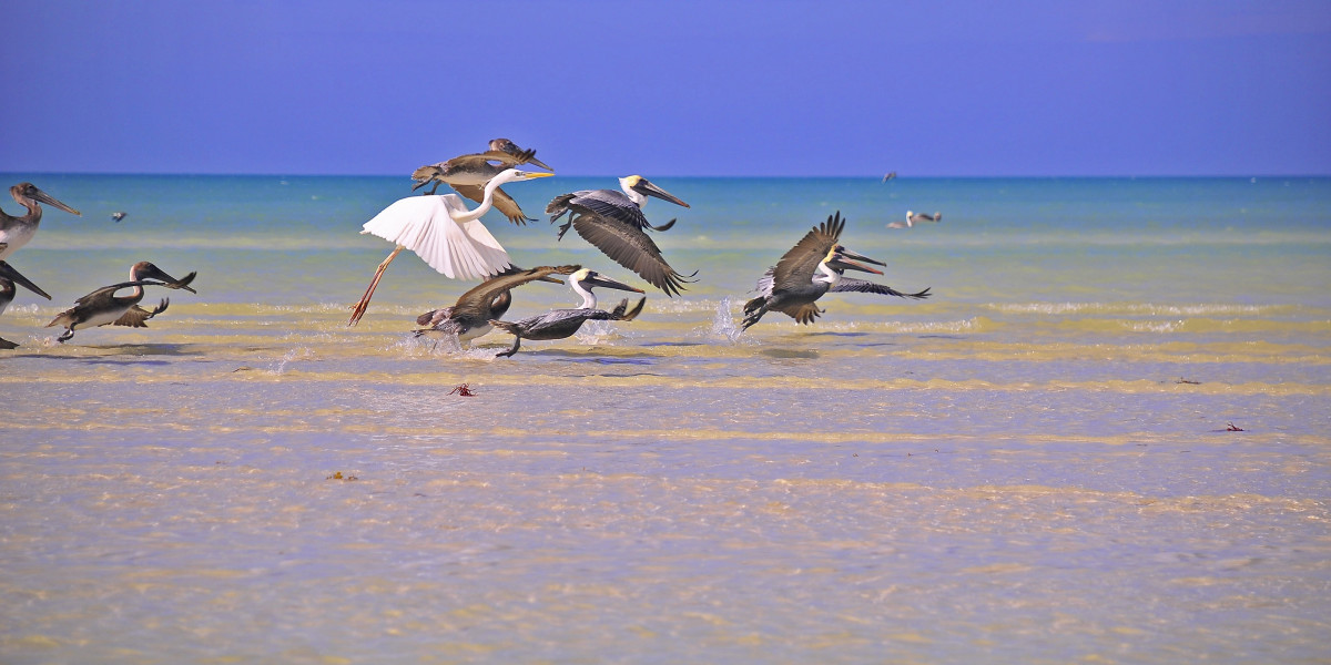 Holbox Island birds taking flight on the sandbanks, The Holboxeno is the definitive guide to Holbox