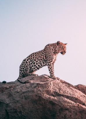 Leopard på en sten i solnedgång
