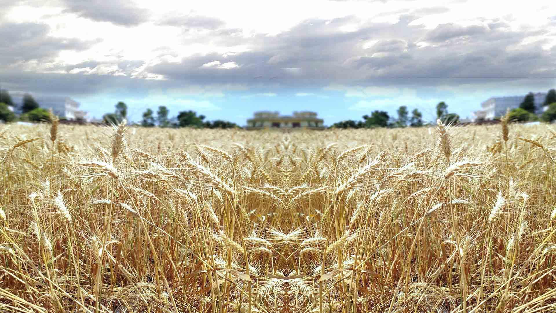 En Çok Buğday Üreten Ülkeler?fit=thumb&w=418&h=152&q=80
