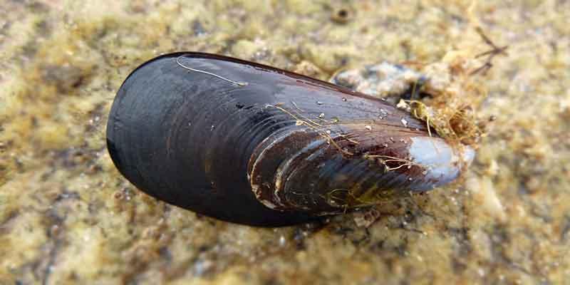 En Uzun Yaşayan Canlılar - Okyanus Midyesi
