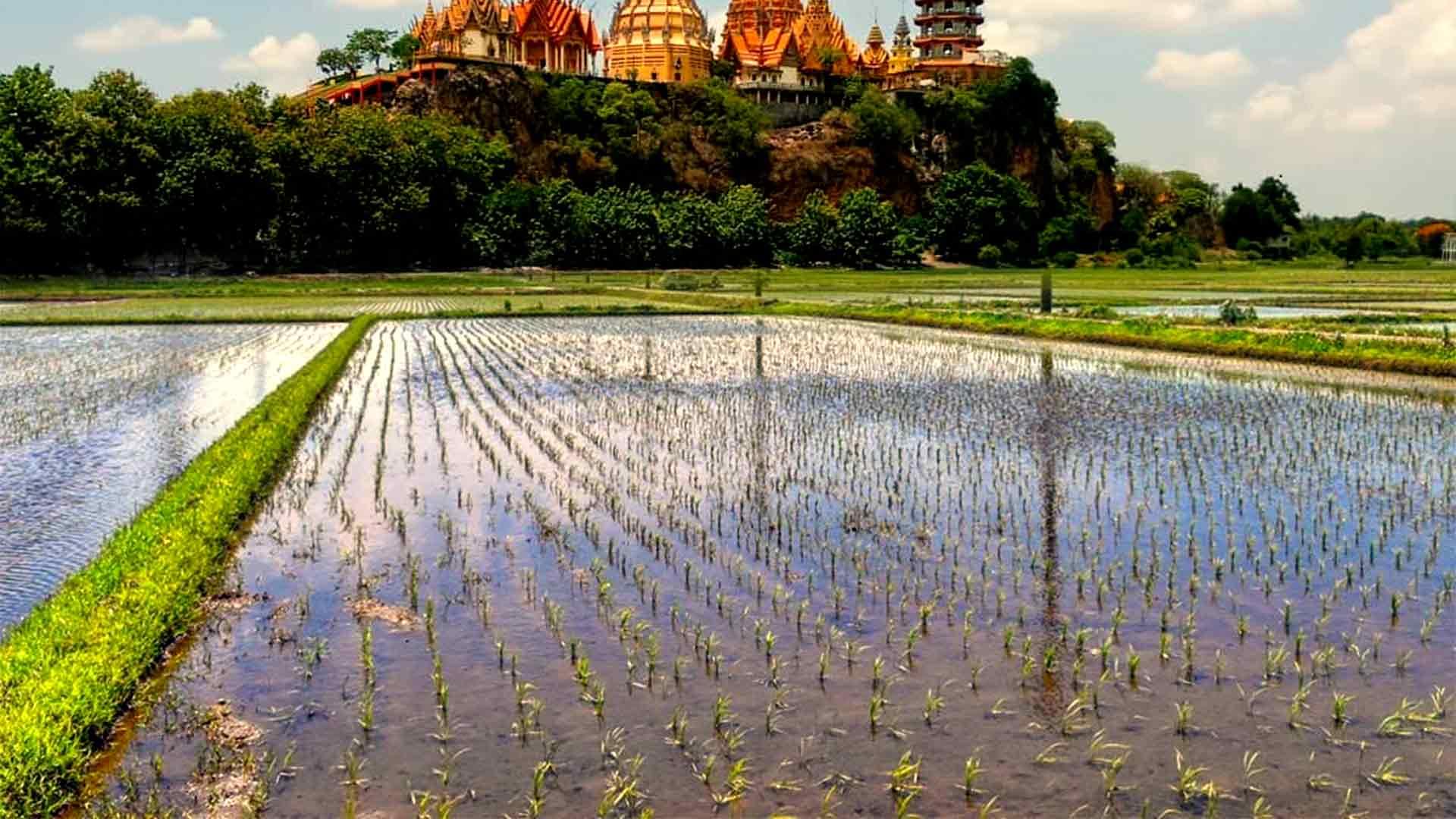 En Büyük Pirinç Üretimi Yapan Ülkeler