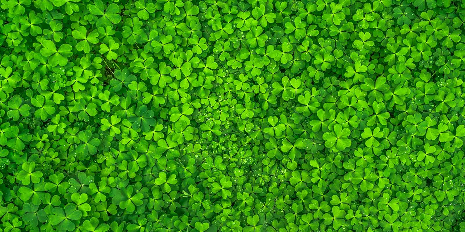 four-leaf-clovers