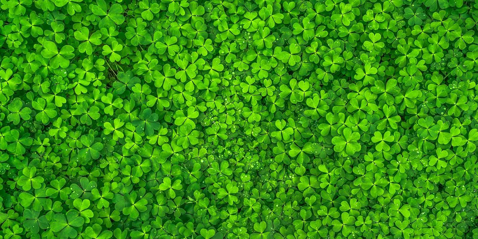 four-leaf-clovers
