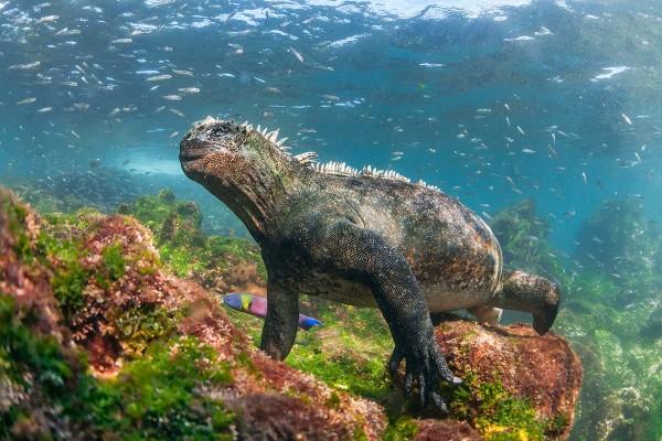 UnCruise Galapagos Iguana 2