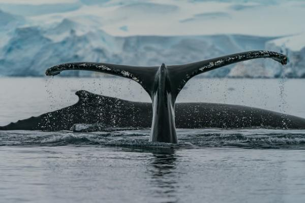 Lindblad-Travel-Insurance-Review-Whale-Tail