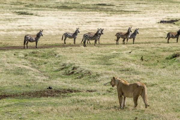 National Geographic Zebra