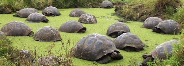 UnCruise Galapagos Tortoises 1