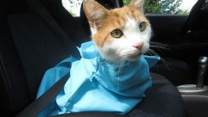 Cat inside blue carrier bag