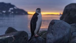 Chinstrap penguin, Antarctica, COVID-19, coronavirus