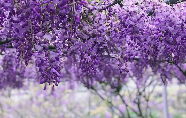 淡水紫藤花咖啡園一店