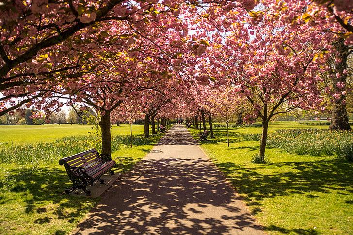 cherry blossoms around the world