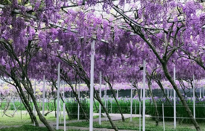 淡水紫藤花咖啡園一店一景