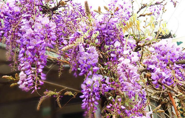 瑞里紫藤花花景