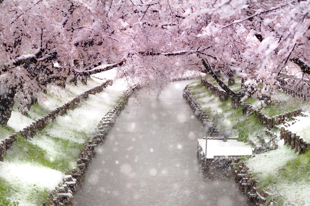 Cherry Blossoms in Snow Japan