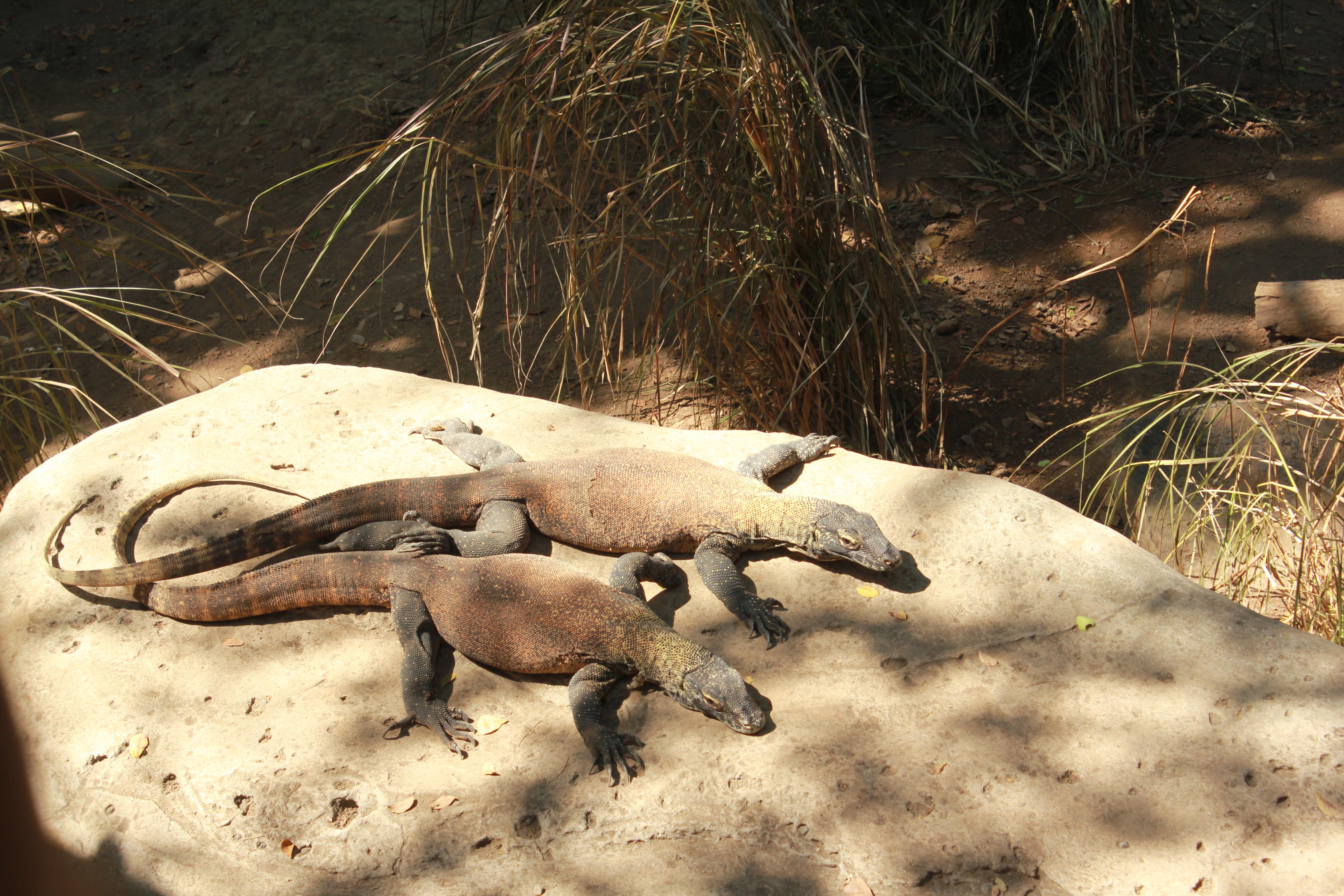baby komodo dragons bali safari
