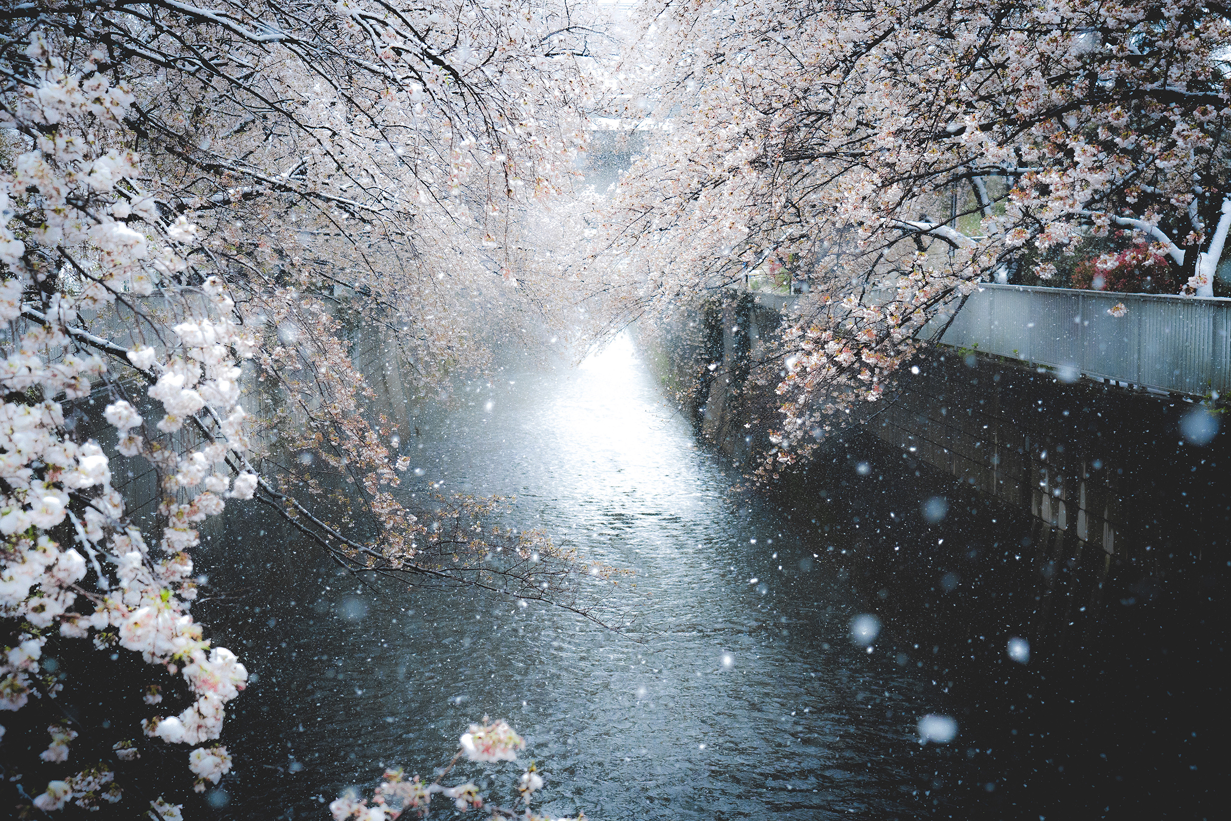Tokyo Cherry Blossom with Snow