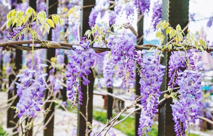瑞里紫藤花花景2
