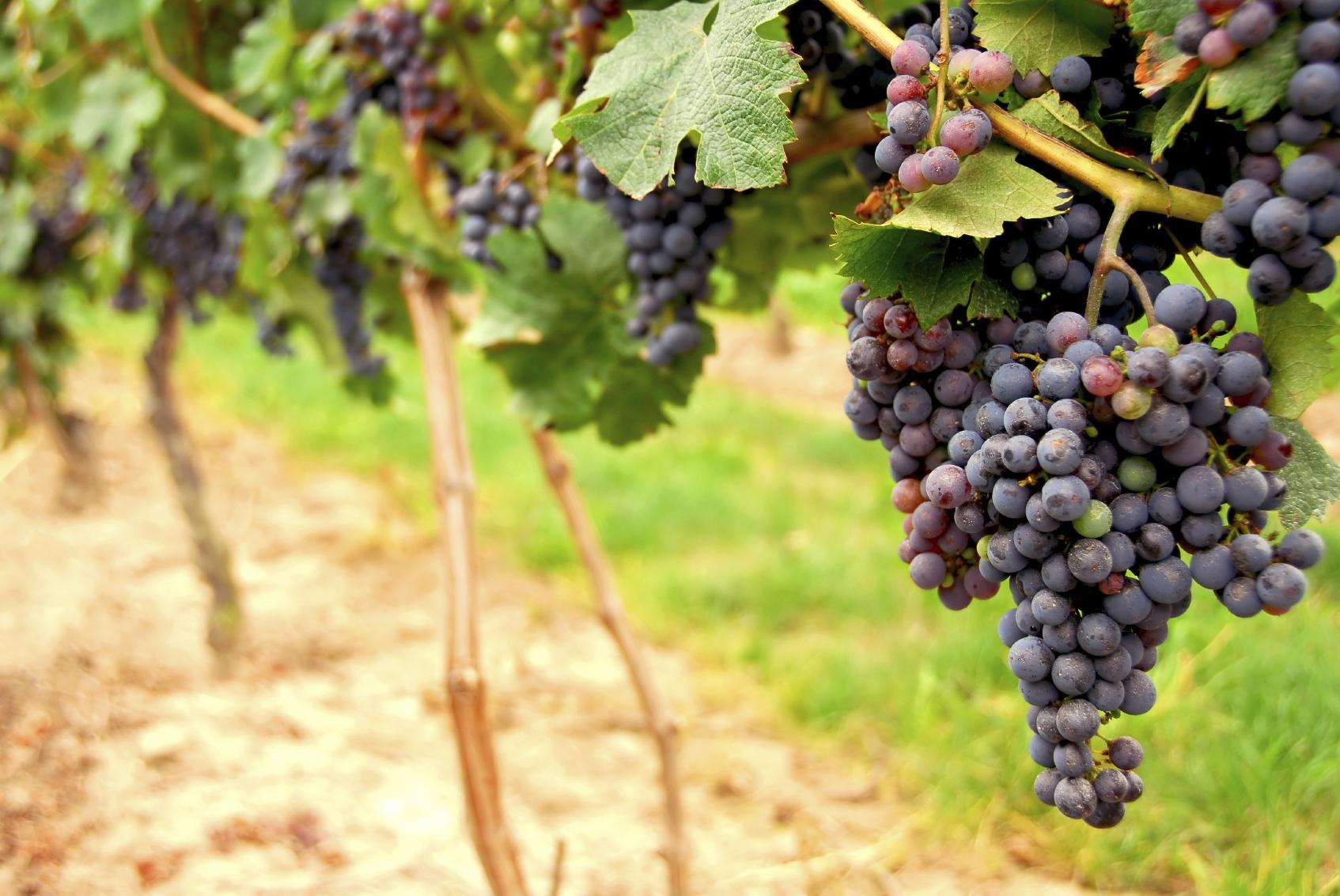 grapes winery san francisco