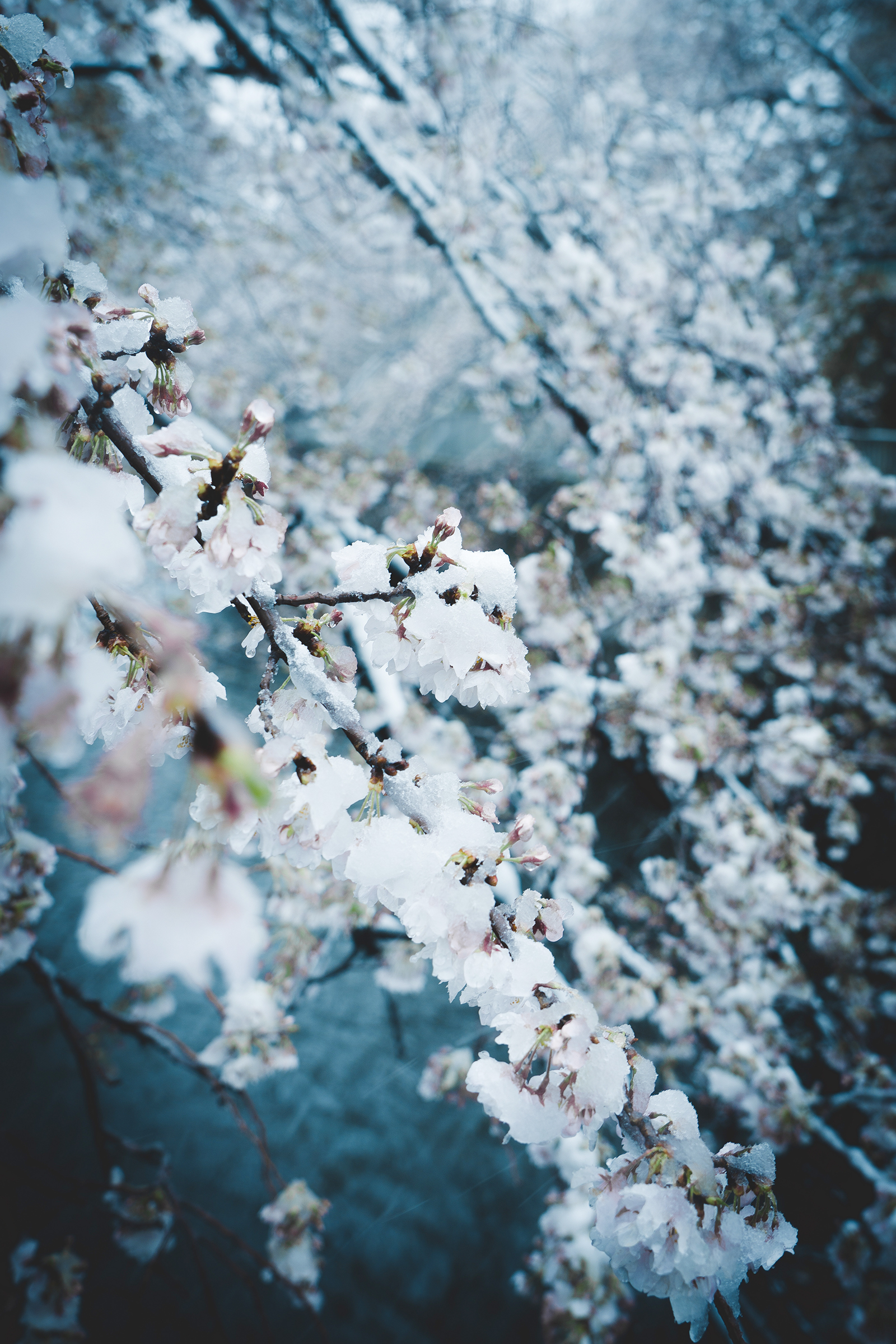 Cherry Blossoms in Snow Tokyo 6